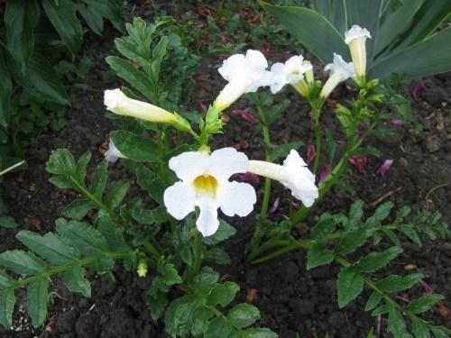 Садовая глоксиния инкарвиллея — cvetokvgorshke