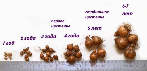 луковицы галантуса