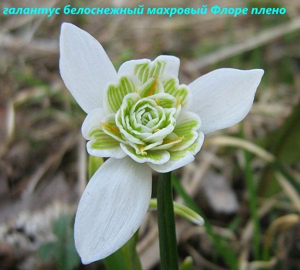 галантус белоснежный махровый флоре плено