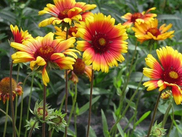 длительное пышное цветение гайлардии