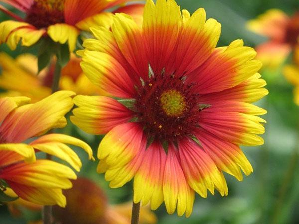 крупные цветы гайлардии