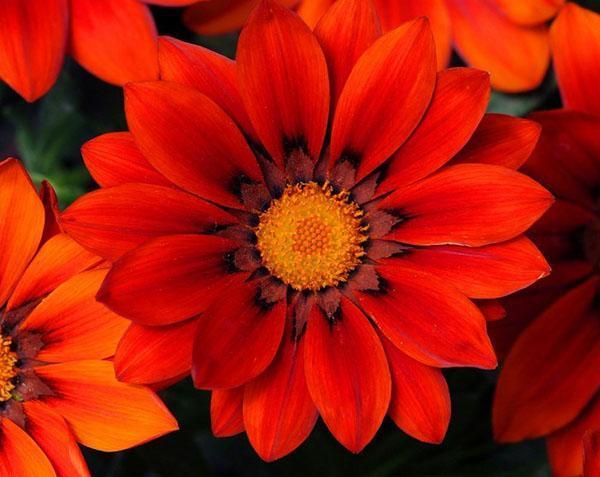 ярко-красные цветы газании