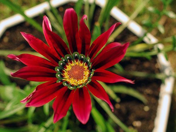 растение нуждается в простом уходе