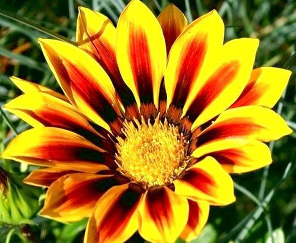 цветок родом из Австралии