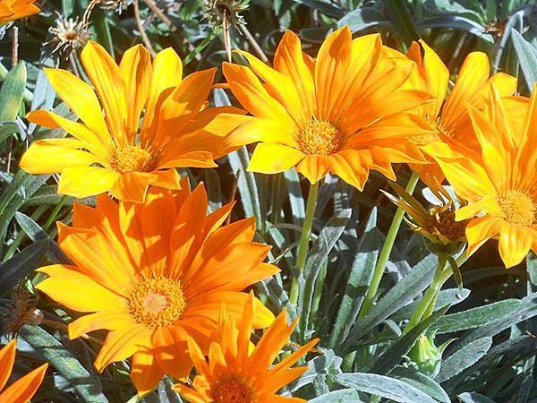 газания отличается длительностью цветения