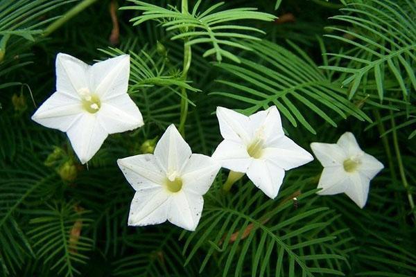 белые цветы ипомеи