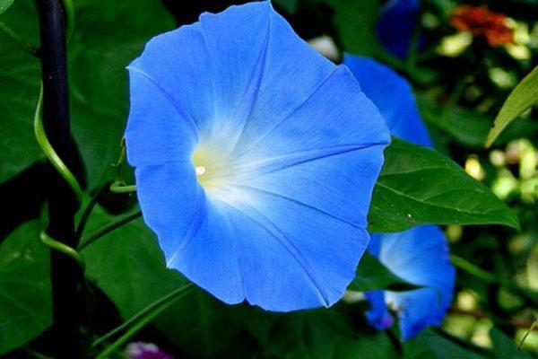 синие цветы ипомеи