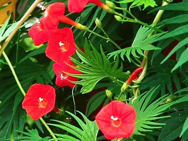 красные цветы ипомеи