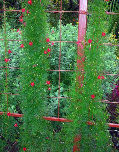 ипомея квамоклит в саду