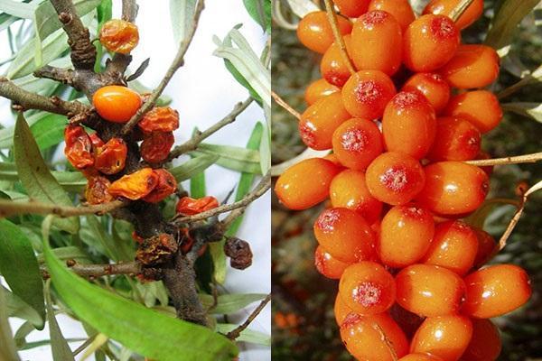 такие ягоды не используют для приготовления облепихового масла
