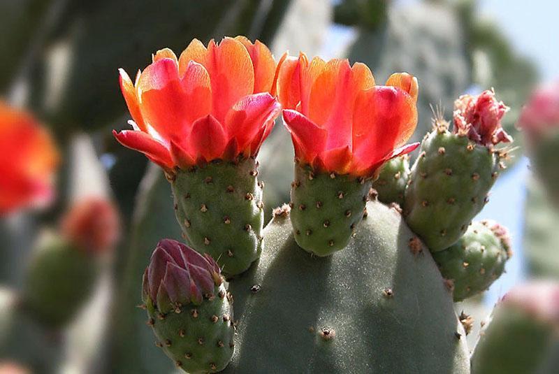 цветет кактус опунция
