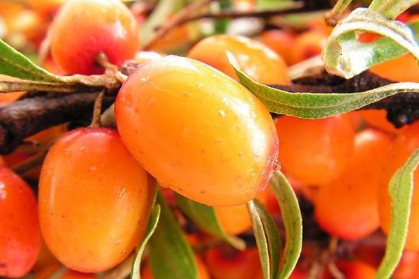 свежие ягоды облепихи