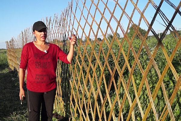 плетение изгороди из ивы