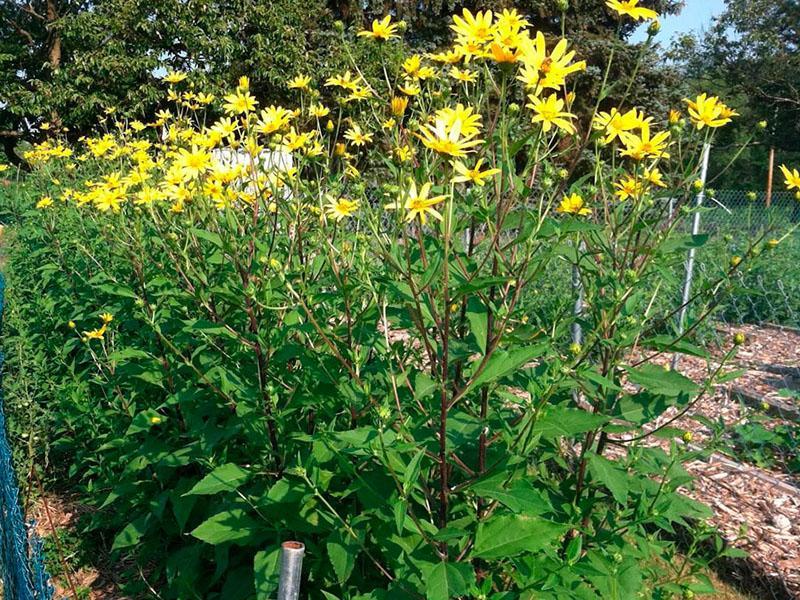 выращивание топинамбура на участке