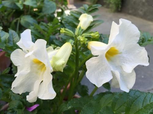 соцветия инкарвиллеи