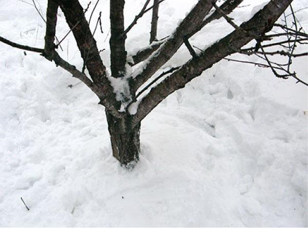 утаптываем снег вокруг деревьев