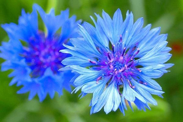синий цветок василька