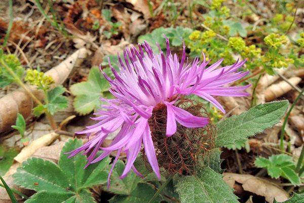 розовый цветок василька