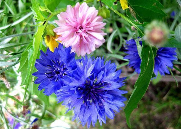 цветет василек