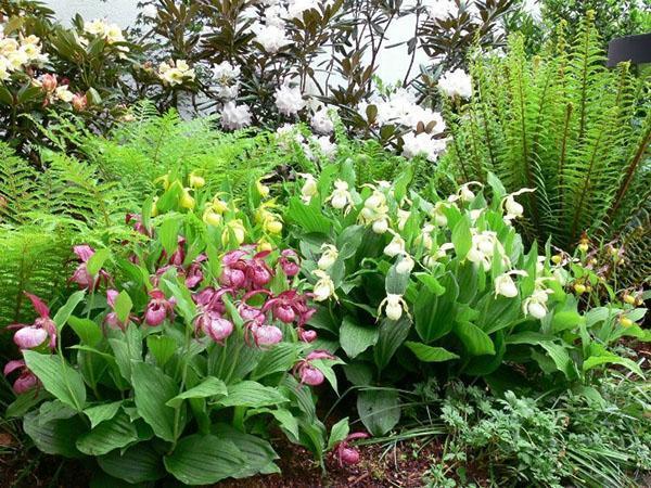 орхидея венерин башмачок в саду