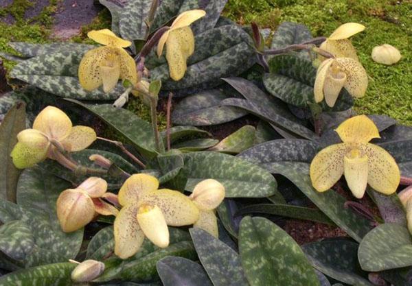 листья мраморного окраса