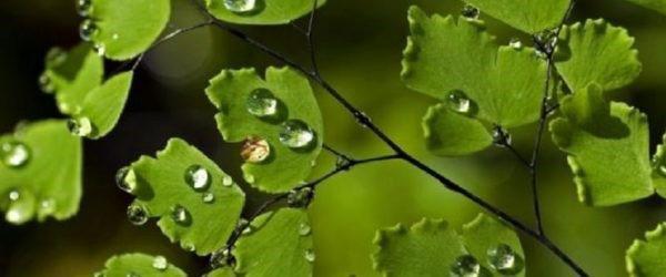капли воды на листьях венериного волоса
