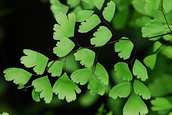 строение листовых пластин