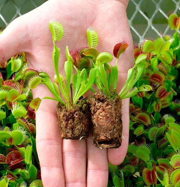 молодые растения венериной мухоловки