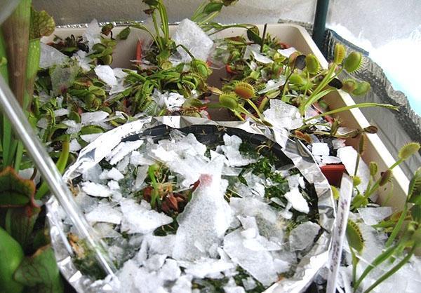 содержание венериной мухоловки зимой