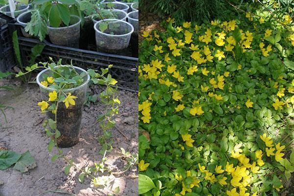 саженец вербейника и взрослое растение