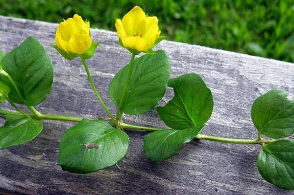 листья и цветы монетчатого вербейника