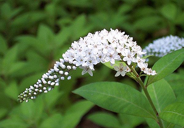 белые цветы вербейника