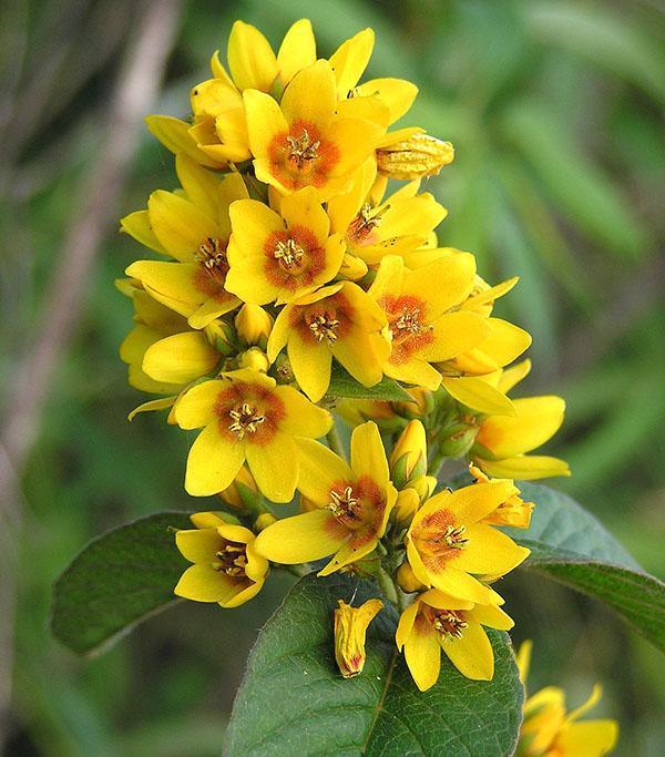 ярко-желтые цветы вербейника