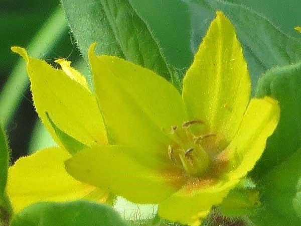 лимонные цветы вербейника