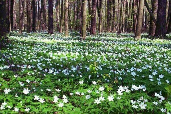 ветреница ранней весной в лесу