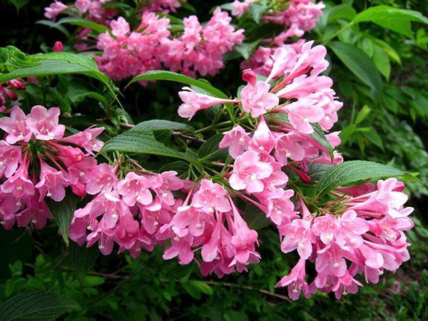 пышное яркое цветение
