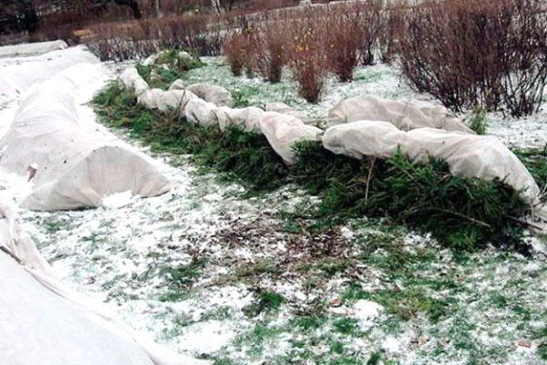 укрывание вейгелы от морозов
