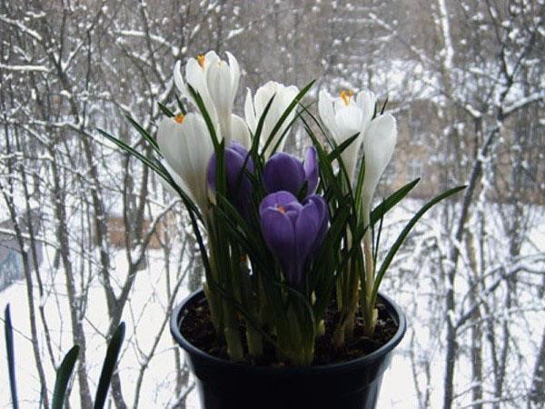 цветут крокусы зимой