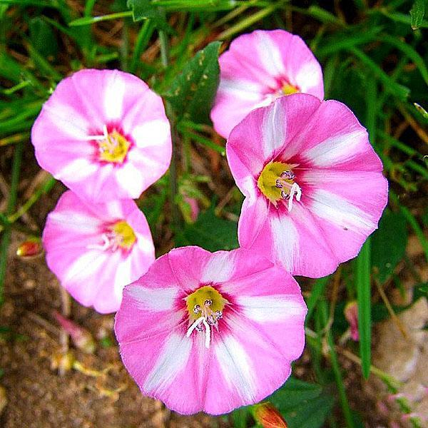 цветок вьюнка