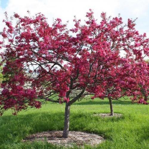 яблоня с красными листьями