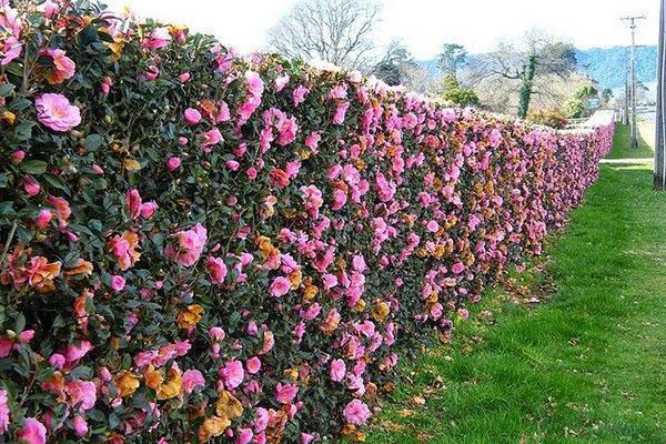 яркий цветущий забор