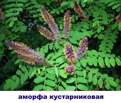 аморфа кустарниковая
