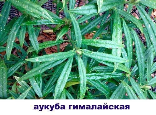 гималайская аукуба