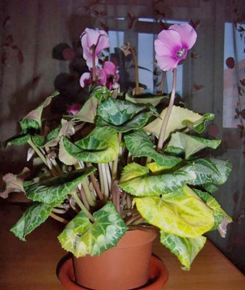 сильное пожелтение листьев цикламена