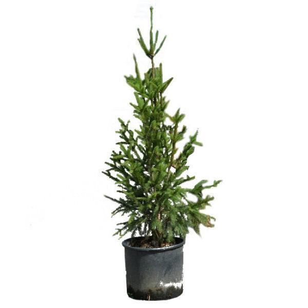 елка Купрессина
