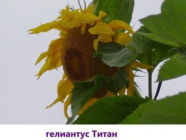гелиантус титан