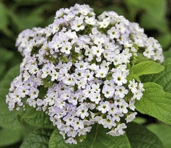 цветение гелиотропа сорта Уайт леди
