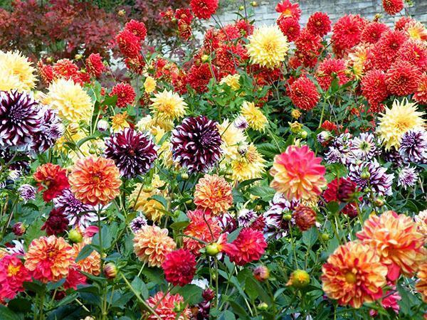 цветут георгины разных сортов