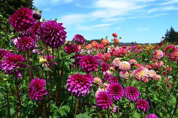 яркое цветение георгин