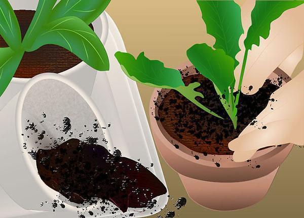 посадка ростков в горшки